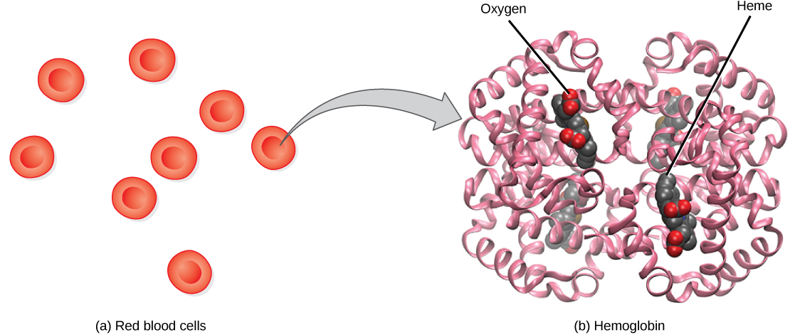 Part a shows disc-shaped red blood cells. An arrow points from a red blood cell to the hemoglobin in part b. Hemoglobin is made up of coiled helices. The left, right, bottom, and top parts of the molecule are symmetrical. Four small heme groups are associated with hemoglobin. Oxygen is bound to the heme.