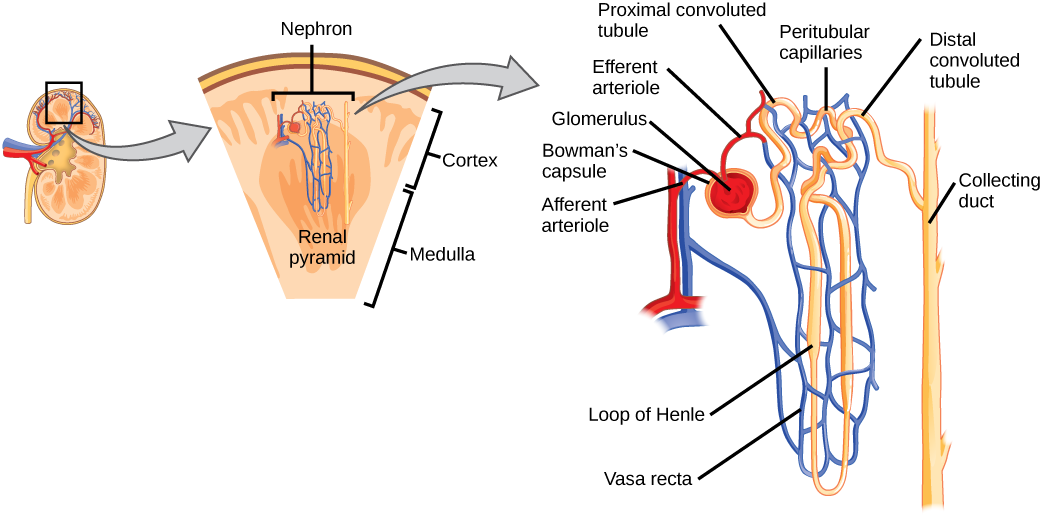 Illustration shows the nephron, a tube-like structure that begins in the kidney cortex. Here, arterioles converge in a bulb-like structure called the glomerulus, which is partly surrounded by a Bowmans capsule. Afferent arterioles enter the glomerulus, and efferent arterioles leave. The glomerulus empties into the proximal convoluted tubule. A long loop, called the loop of Henle, extends from the proximal convoluted tubule to the inner medulla of the kidney, and then back out to the cortex. There, the loop of Henle joins a distal convoluted tubule. The distal convoluted tubule joins a collecting duct, which travels from the medulla back into the cortex, toward the center of the kidney. Eventually, the contents of the renal pyramid empty into the renal pelvis, and then the ureter.