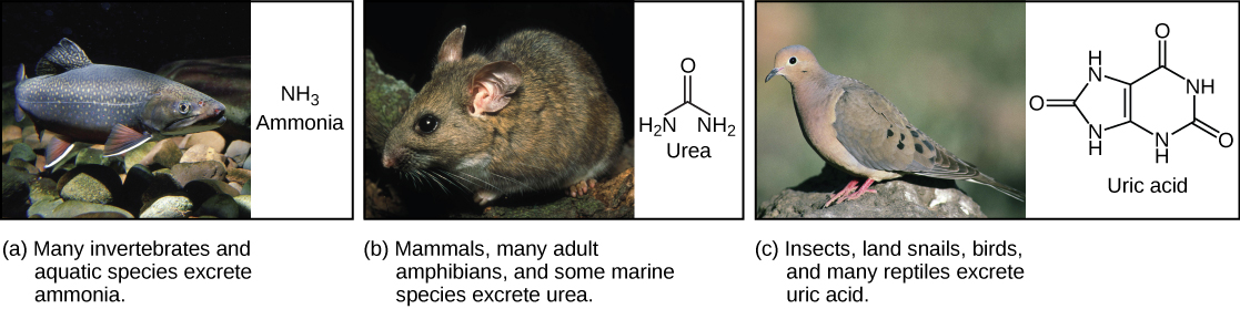 Part A shows a photo of a freshwater fish and states that many invertebrates and aquatic species excrete ammonia. The chemical structure of ammonia is upper case N upper case H subscript 3 baseline. Part B shows a photo of a wood rat and states that mammals, many adult amphibians, and some marine species excrete urea. The chemical structure of urea is shown. Urea has one upper N upper H subscript 2 baseline group, and one upper N upper H subscript 2 baseline group attached to a central carbon. An oxygen is also double-bonded to this central carbon. Part C shows a photo of a pigeon and states that insects, land snails, birds, and many reptiles excrete uric acid. The chemical structure of uric acid is shown. Uric acid has a six-membered carbon ring attached to a five-membered ring. Each ring has two upper N upper H groups embedded in it. An oxygen is double-bonded to each ring.