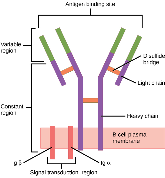 Illustration shows a B cell receptor that has two column-like subunits, called heavy chains, projecting up from the plasma membrane. Each column bends away from the other about halfway up, resulting in a Y-shaped structure. Two shorter subunits, called light chains, join the heavy chains after the bend. The upper portion of both the light and heavy chains is the variable region that makes up the antigen binding site. The bottom of both light and heavy chains forms the constant region. The signal transduction region consists of two proteins, I g beta and I g alpha, embedded in the plasma membrane, with projections on the cytoplasmic side.