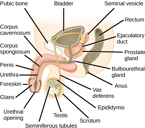 Illustration shows a cross section of the penis and testes. The penis widens at the end, into the glans, which is surrounded by the foreskin. The urethra is an opening that runs through the middle of the penis to the bladder. The tissue surrounding the urethra is the Corpus spongiosum, and above the Corpus spongiosum is the Corpus cavernosum. The testes, located immediately behind the penis, are covered by the scrotum. Seminiferous tubules are located in the testes. The epididymis partly surrounds the sac containing the seminiferous tubules. The Vas deferens is a tube connecting the seminiferous tubules to the ejaculatory duct, which begins in the prostate gland. The prostate gland is located behind and below the bladder. The seminal vesicle, located above the prostate, also connects to the seminal vesicle. The bulbourethral gland connects to the ejaculatory duct where the ejaculatory duct enters the penis.