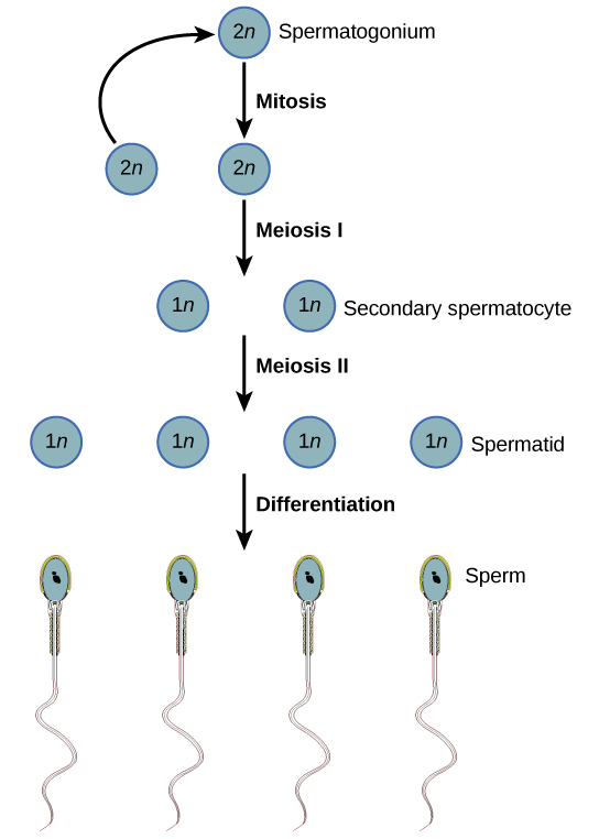 Spermatogenesis begins when the 2 n spermatogonium undergoes mitosis, producing more spermatagonia. The spermatogonia undergo meiosis I, producing haploid 1 n secondary spermatocytes, and meiosis I I, producing spermatids. Differentiation of the spermatids results in mature sperm.