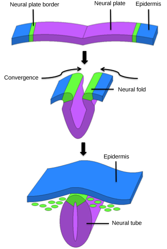 Illustration shows a flat sheet. The middle of the sheet is the neural plate, and the epidermis is at either end. The neural plate border separates the neural plate from the epidermis. During convergence the plate folds, bringing the neural folds together. The neural folds fuse, forming the neural plate into a neural tube. The epidermis separates and folds around the outside.