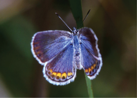 Photo depicts a Karner blue butterfly, which has light blue wings with gold ovals and black dots around the edges.