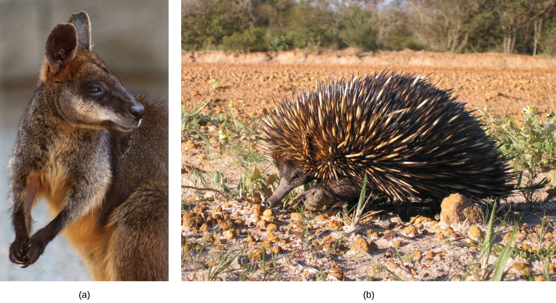 Photo (a) depicts a wallaby, a member of the kangaroo family. The wallaby is brown with white flecks on its fur and a light brown underbelly. Its hands are clasped together. Photo (b) shows an echidna. Like a porcupine, the echidna has a compact body covered with brown and white quills. It has a long, slender snout.