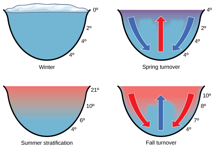 The illustration shows a cross-section of a lake in four different seasons. In winter, the surface of the lake is frozen with a temperature of 0 degrees upper case C. The temperature at the bottom of the lake is 4 degrees upper case C, and the temperature just beneath the surface is 2 degrees C. During the spring turnover, the surface ice melts and warms to 4 degrees C. At this temperature, the surface water is denser than the 2 degree C water beneath; therefore, it sinks. In summertime, the surface of the lake is 21 degrees C, and the temperature decreases with depth, to 4 degrees C at the bottom. During the fall turnover, the warm surface water cools to about 10 degrees C; thus, it becomes denser and sinks.