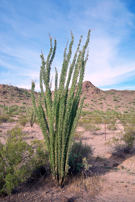 This photo shows a sandy desert dotted with scrubby bushes. An ocotillo plant dominates the picture. It has long, thin unbranched stems that grow straight up from the base of the plant and radiate out slightly. The plant has no leaves.