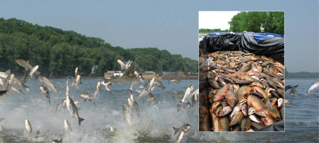 Main photo shows fish jumping out of the water, and inset photo shows a pile of dead fish in a container.