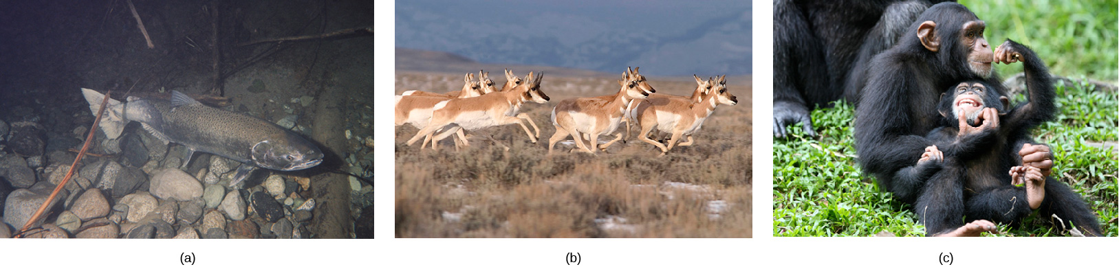 Photo a shows a salmon swimming. Photo b shows pronghorn antelope running on a plain. Photo c shows chimpanzees. Photo (b) shows pronghorn antelope running on a plain. Photo (c) shows chimpanzees.