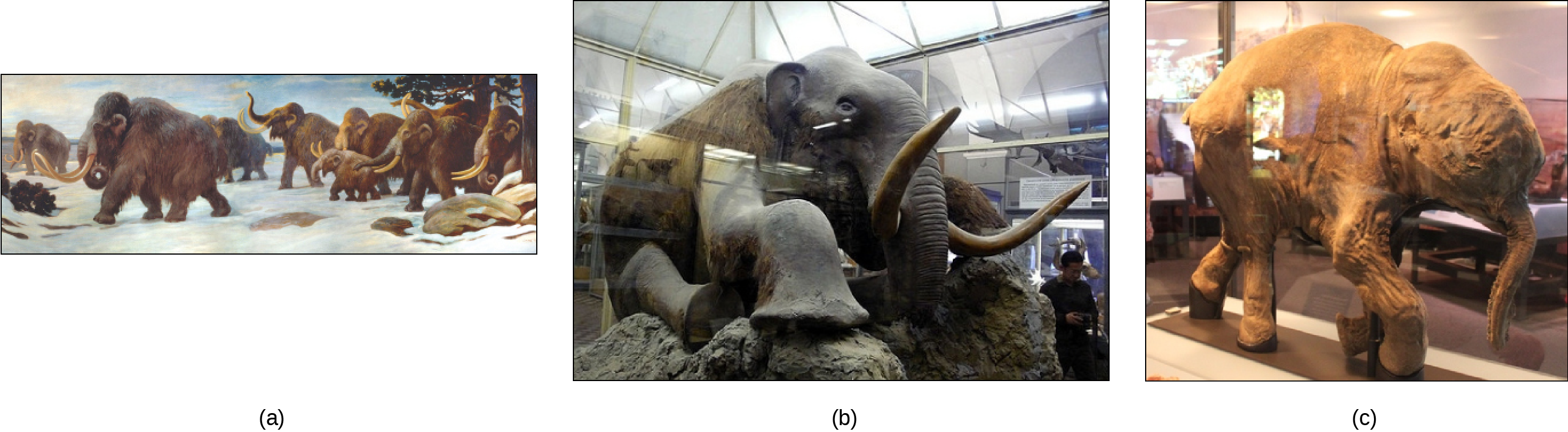 Three depictions of mammoths are shown.  They are large, elephant like creatures covered in fur and have long tusks. Photo a shows a painting of mammoths walking in the snow. Photo b shows a stuffed mammoth sitting in a museum display case. Photo c shows a mummified baby mammoth, also in a display case. Photo (b) shows a stuffed mammoth sitting in a museum display case. Photo (c) shows a mummified baby mammoth, also in a display case.