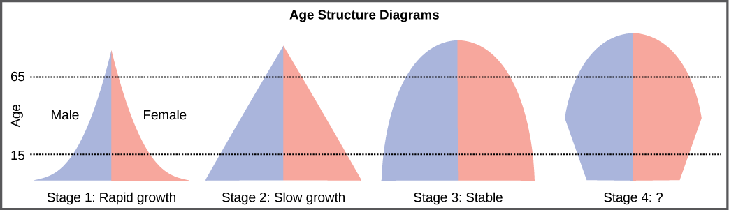 For the four different age structure diagrams shown, the base represents birth and the apex occurs around age 70. The age structure diagram for stage 1, rapid growth, is shaped like a deflated triangle that starts out wide at the base and rapidly decreases to a narrow apex, indicating that the number of individuals decreases rapidly with age. The age structure diagram for stage 2, slow growth, is triangular in shape, indicating that the number of individuals decreases steadily with age. The age structure diagram for stage 3, stable growth, is rounded at the top, indicating that the number of individuals per age group decreases gradually at first, then increases for the older portion of the population. The final age structure diagram, stage 4, widens from the base to middle age, and then narrows to a rounded top. The population type indicated by this diagram is not given, as this is part of the Visual Connection question.