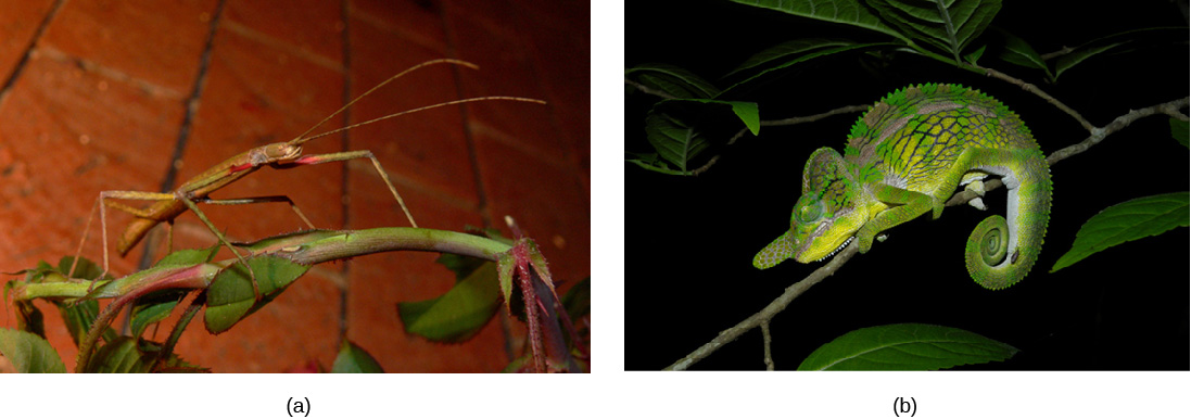 Photo a shows a green walking stick insect that resembles the stem on which it sits. Photo b shows a green chameleon that resembles a leaf.