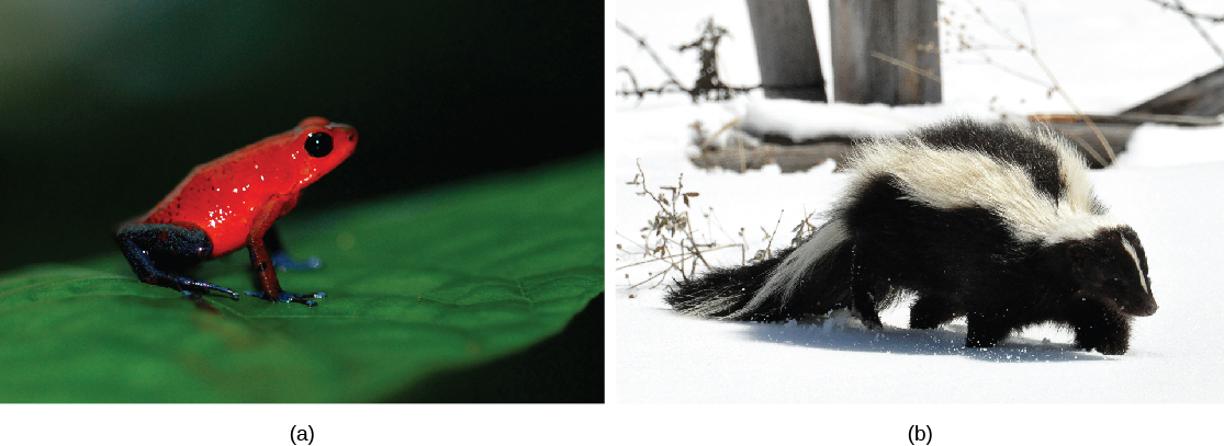 Photo A shows a bright red frog sitting on a leaf. Photo B shows a skunk, whose body is covered in black fur, but has 2 prominent white stripes extending down its back and tail.