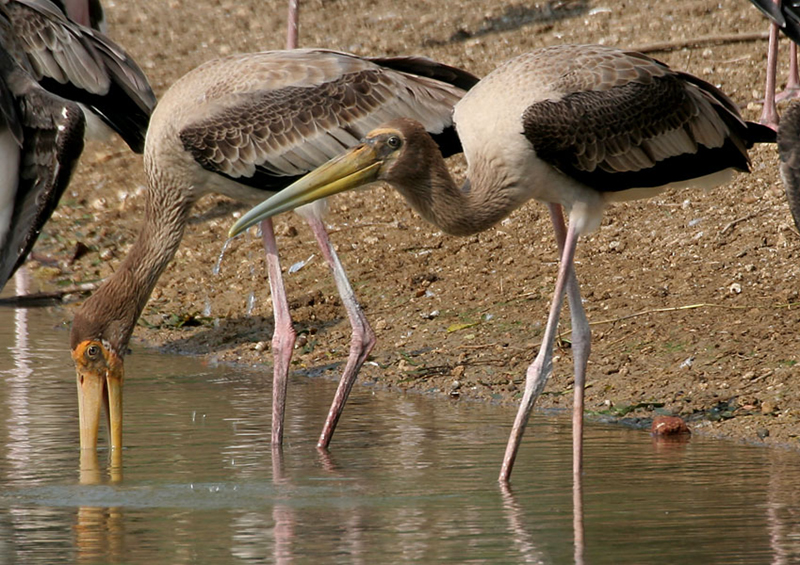 Photo shows long-legged storks standing in water.  These birds have long, thick beaks that are pointed at the tips.
