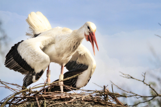 Photo shows a stork sitting on a nest, flapping its wings.