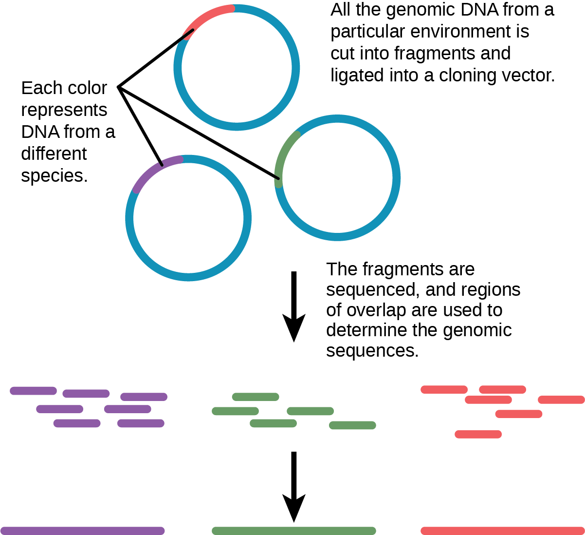 In metagenomics, all of the genomic DNA from a particular environment is cut into fragments and ligated into a cloning vector. The fragments, which may be from several different species, are sequenced. Regions of overlap indicate that two fragments came from the same species. Thus, the genome of each species present can be determined.