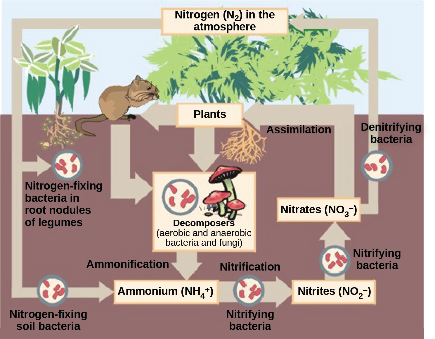 This illustration shows the role of bacteria in the nitrogen cycle. Nitrogen-fixing bacteria in root nodules of legumes convert nitrogen gas, or upper case N 2, into organic nitrogen found in plants. Nitrogen-fixing soil bacteria produce ammonium ion, or upper N upper H 4 plus sign. Decomposers, including bacteria and fungi, decompose organic matter, also releasing upper N upper H 4 plus sign. Nitrification is the process by which nitrifying bacteria produce nitrites, shown as upper N upper O 2 negative, and nitrates, shown as upper N upper O 3 negative. Nitrates are assimilated by plants, then animals, then decomposers. Denitrifying bacteria convert nitrates to nitrogen gas, completing the cycle.