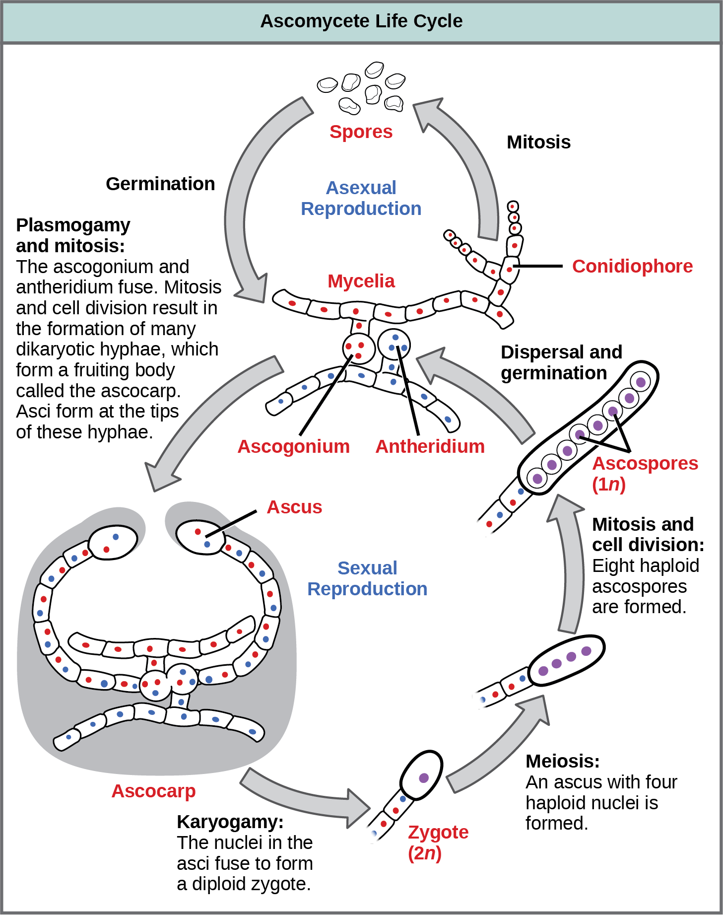 Ascomycetes have both sexual and asexual life cycles. In the asexual life cycle, the haploid (1n) mycelium branches into a chain of cells called the conidiophore. Spores bud from the end of the conidiophore and germinate to form more mycelia. In the sexual life cycle, a round structure called an antheridium buds from the male strain, and a similar structure called the ascogonium buds from the female strain. In a process called plasmogamy, the ascogonium and antheridium fuse to form a cell with multiple haploid nuclei. Mitosis and cell division result in the growth of many hyphae, which form a fruiting body called the ascocarp. The hyphae are dikaryotic, meaning they have two haploid nuclei. Asci form at the tips of these hyphae. In a process called karyogamy, the nuclei in the asci fuse to form a diploid (2n) zygote. The zygote undergoes meiosis without cell division, resulting in an ascus with four 1n nuclei arranged in a row. Each nucleus undergoes mitosis, resulting in eight ascospores, which are also arranged in a row at the tip of the hyphae. Dispersal and germination results in the growth of new mycelia.