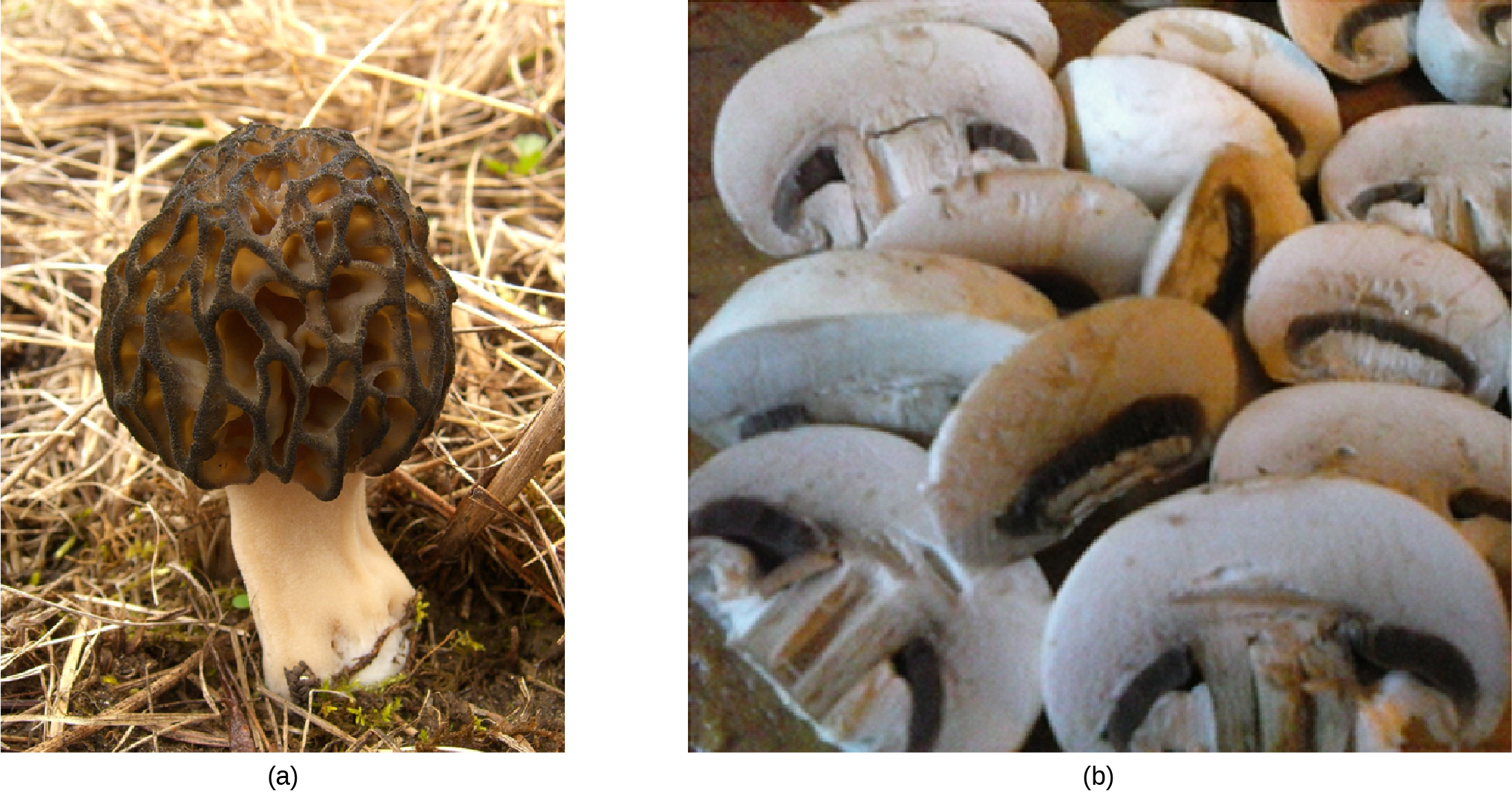 Part a Photo shows a mushroom with a convoluted black cap. Part b shows a pile of sliced mushrooms similar to ones people would see in a food store.