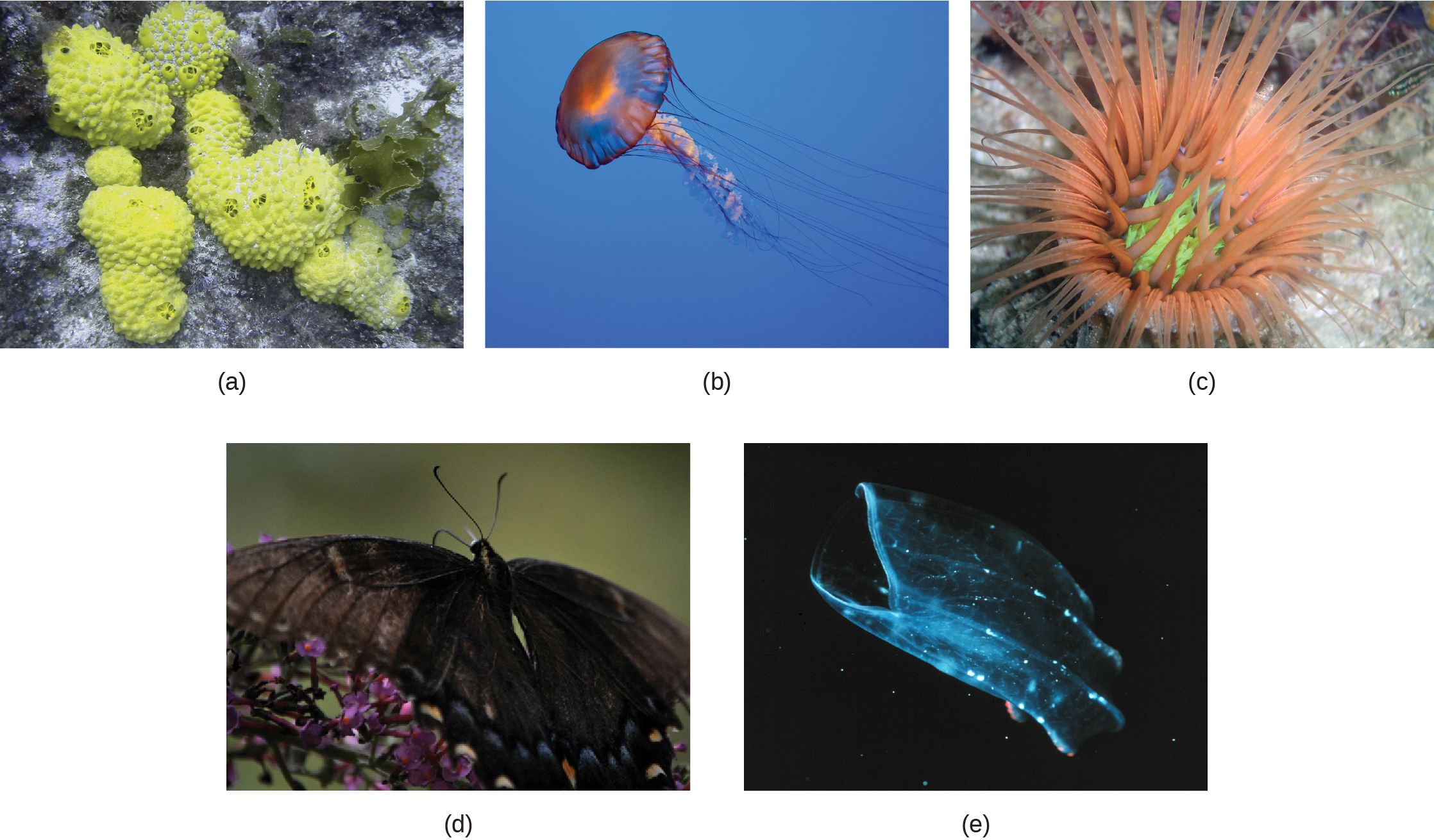 Part a shows several sponges, which form irregular, bumpy blobs on the sea floor. Part b shows a jellyfish with long, slender tentacles, radiating from a flexible, disc-shaped body. Part c shows an anemone sitting on the sea floor with thick tentacles, radiating up from a cup-shaped body. Part d shows a black butterfly with two symmetrical wings. Part e shows a beroe, which is a type of jelly fish, semi-transparent with more solid ribs and a visible opening at one end.