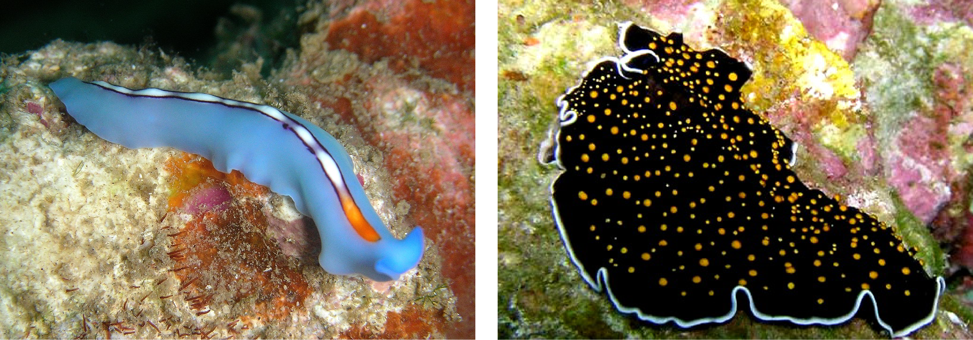 This image shows two flatworms with significant physical diversity.  One flatworm is brightly colored, and is long and tubular.  The other flatworm is broad, and flat, and a dark color.