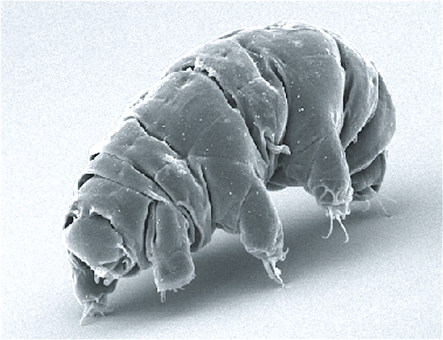 The image displays an electron micrgraph of a water bear, or tardigrade.