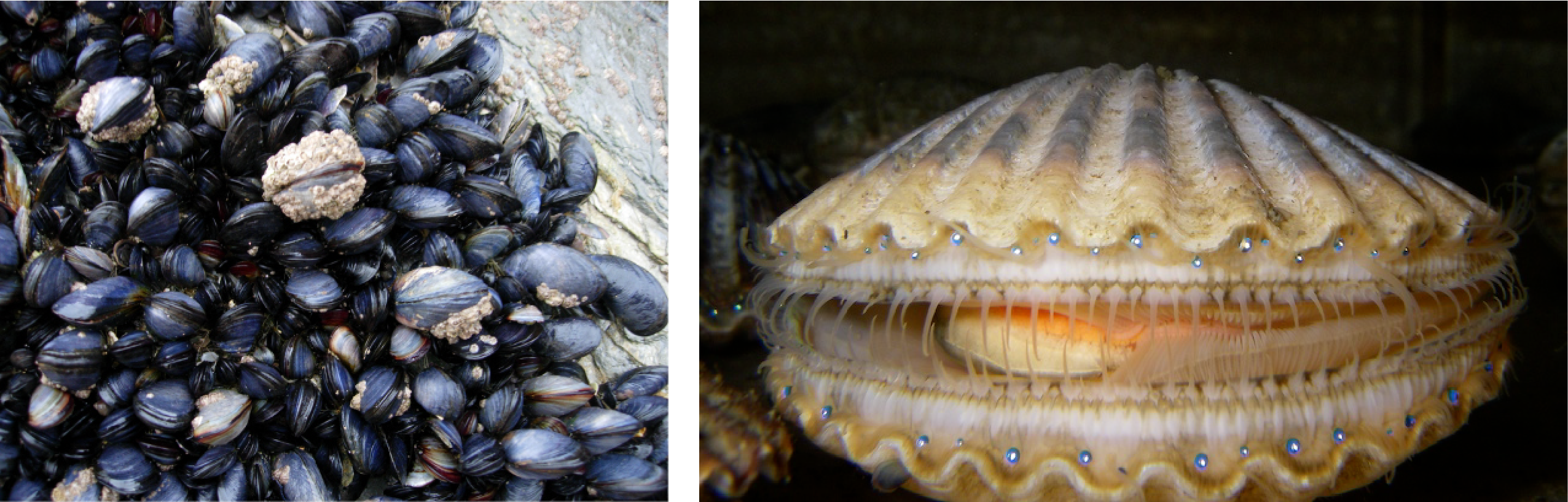 The photo shows black and gray mussels clustered together. Image b is a scallop, with its eyespots clearly noticable along the edge of its mantle.