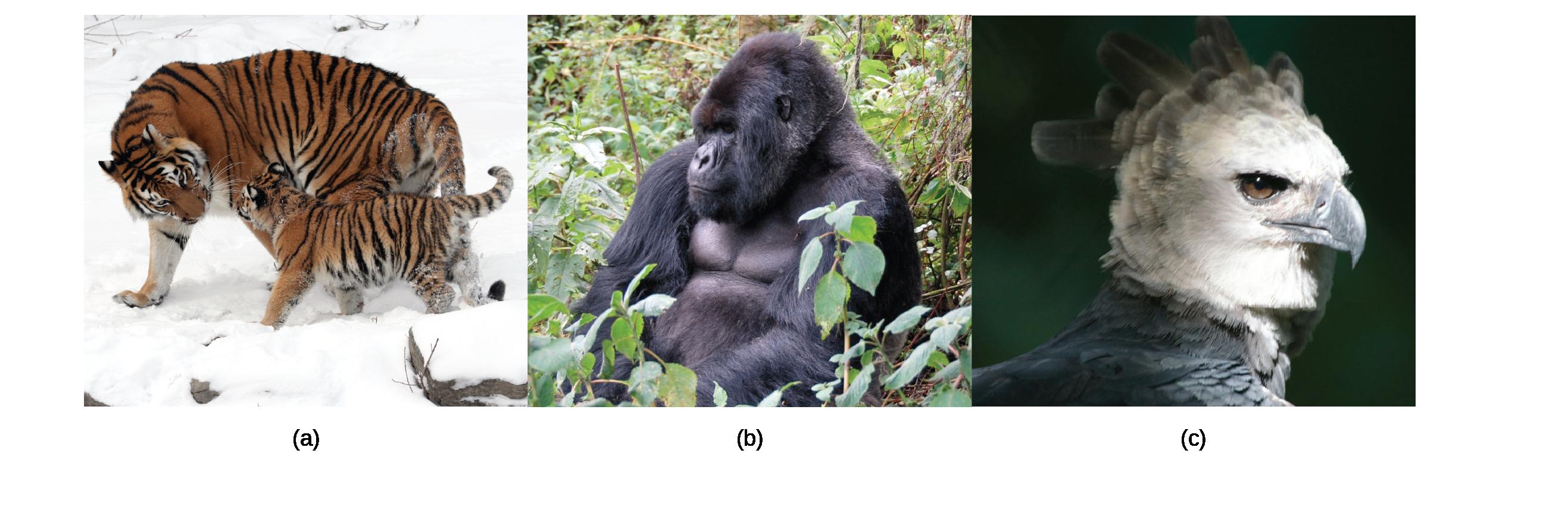 Photos show a tiger, a gorilla, and an eagle.