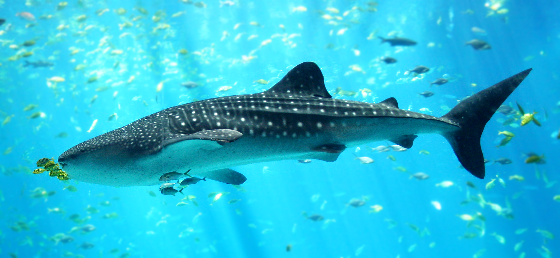 The image displays a whale shark swimming in the Georgia Aquarium.