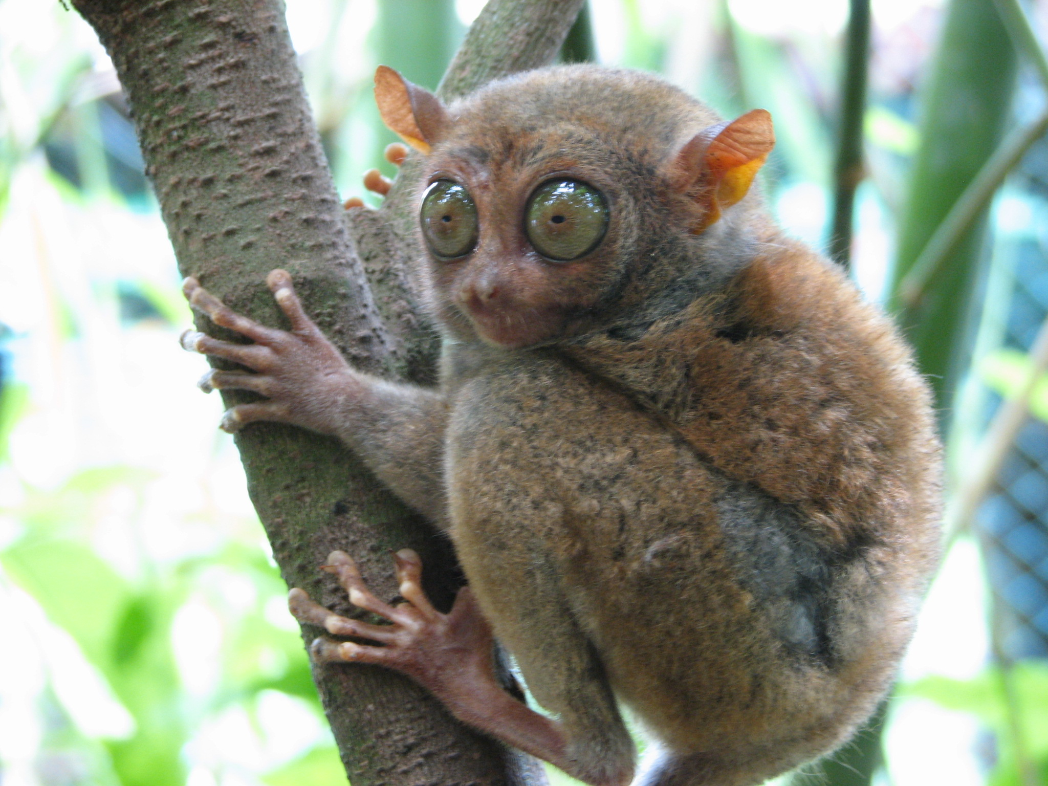 Image depicts a Tarsier in a tree.