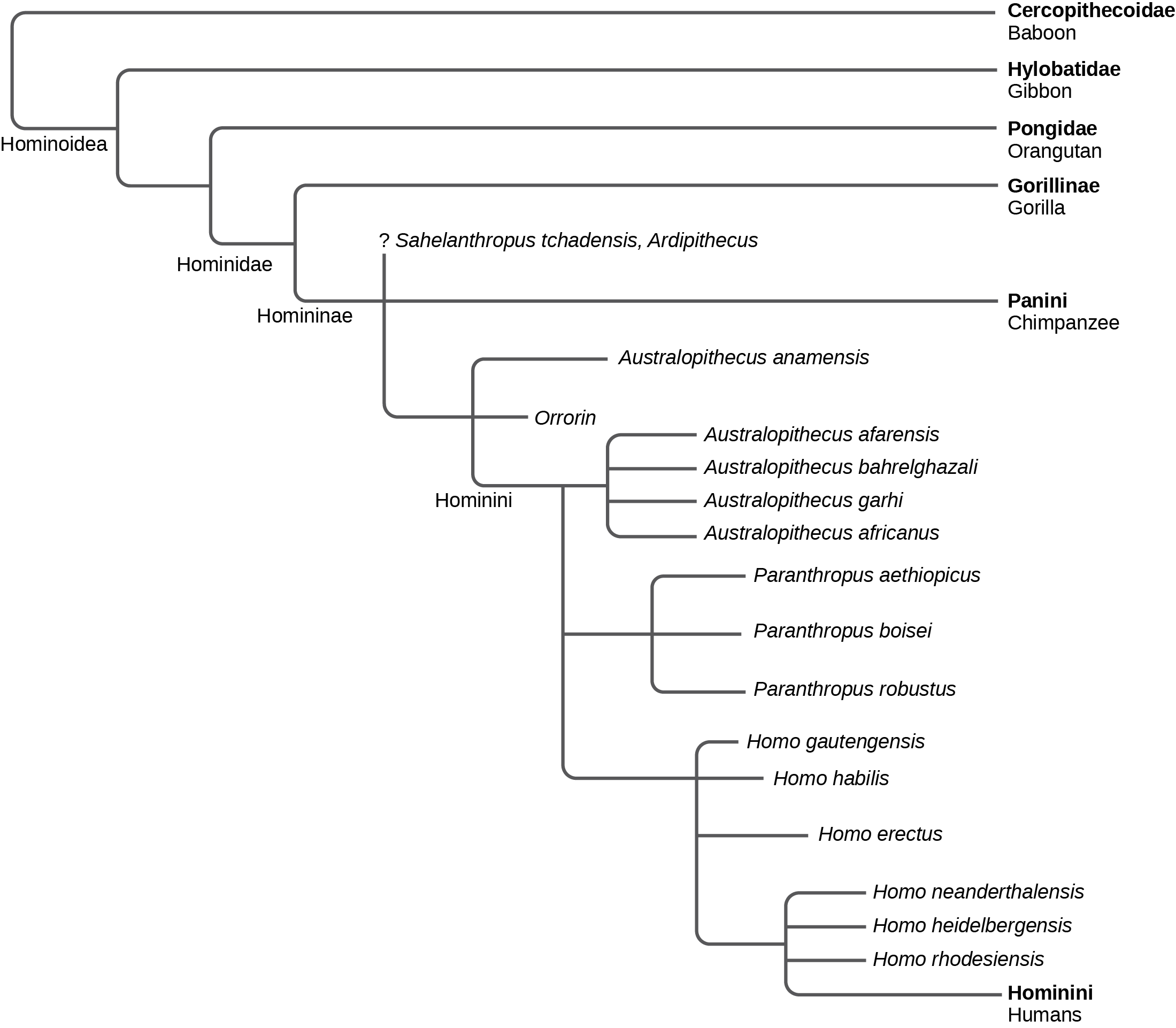 The evolutionary tree shows the relationship between humans and the great apes. All great apes, including baboons, gibbons, orangutans, gorillas, chimpanzees, humans, and human ancestors, belong in the superfamily Hominoidea. Of these great apes, all but baboons and gibbons belong in the family Hominidae. Gorillas, chimpanzees, humans, and human ancestors belong in the subfamily Homininae. Humans and their direct ancestors belong in the tribe Hominini.