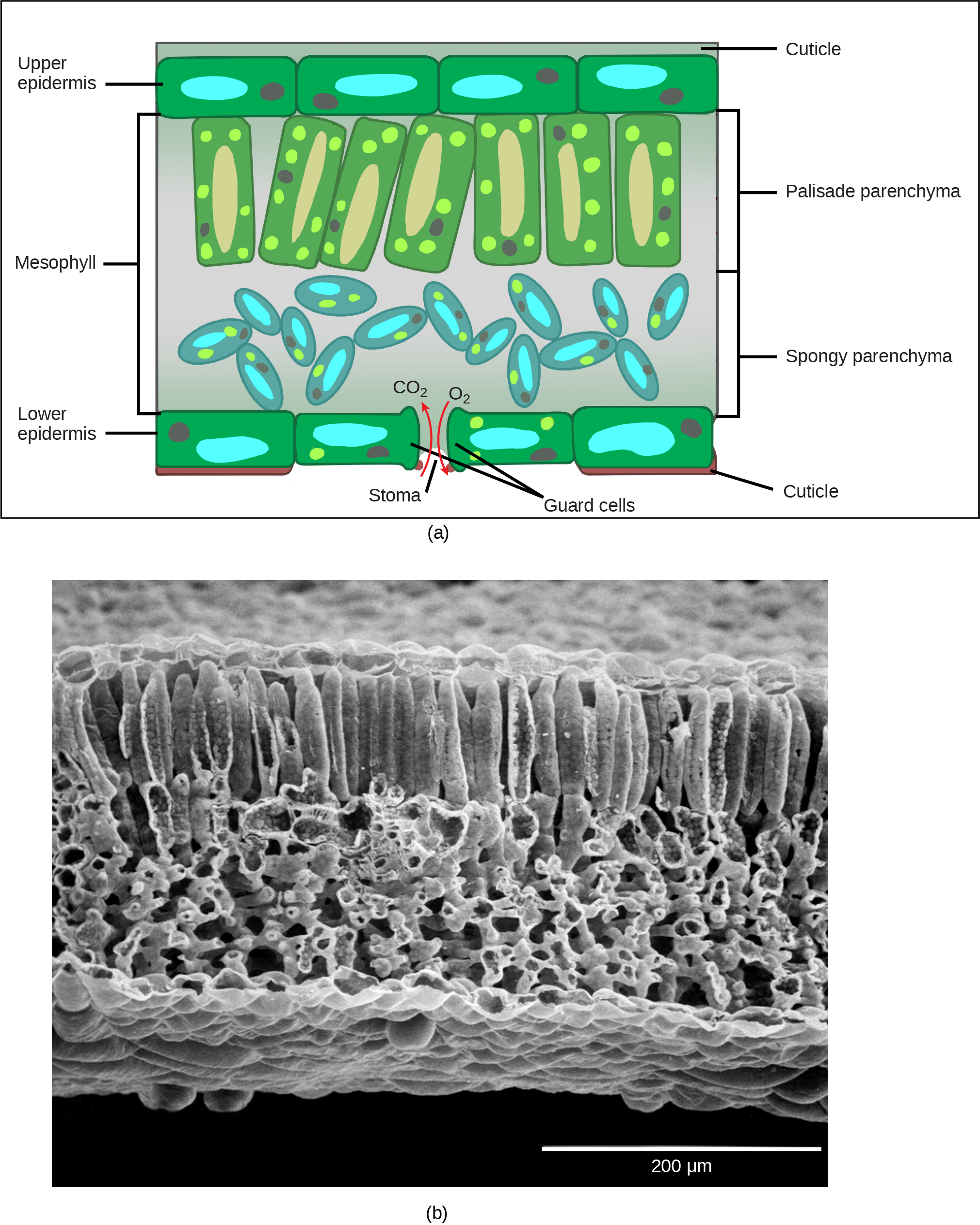 Part A is a leaf cross section illustration. A flat layer of rectangular cells make up the upper and lower epidermis. A cuticle layer protects the outside of both epidermal layers. A stomatal pore in the lower epidermis allows carbon dioxide to enter and oxygen to leave. Oval guard cells surround the pore. Sandwiched between the upper and lower epidermis is the mesophyll. The upper part of the mesophyll is comprised of columnar cells called palisade parenchyma. The lower part of the mesophyll is made up of loosely packed spongy parenchyma. Part B is a scanning electron micrograph of a leaf in which all the layers described above are visible. Palisade cells are about 50 microns tall and 10 microns wide and are covered with tiny bumps, which are the chloroplasts. Spongy cells smaller and irregularly shaped. Several large bumps about 20 microns across project from the lower surface of the leaf.