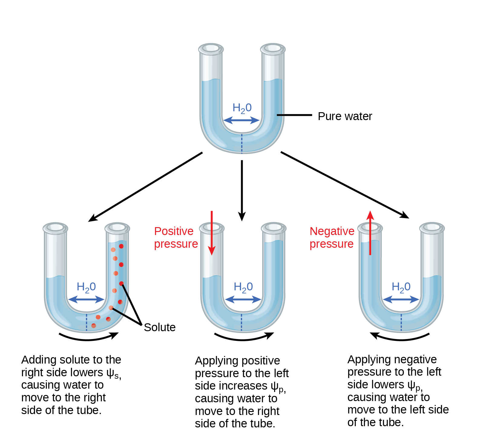 Illustration shows a U-shaped tube holding pure water. A semipermeable membrane, which allows water but not solutes to pass, separates the two sides of the tube. The water level on each side of the tube is the same. Beneath this tube are three more tubes, also divided by semipermeable membranes. In the first tube, solute has been added to the right side. Adding solute to the right side lowers p s i dash s, causing water to move to the right side of the tube. As a result, the water level is higher on the right side. The second tube has pure water on both sides of the membrane. Positive pressure is applied to the left side. Applying positive pressure to the left side causes p s i dash p to increase. As a results, water moves to the right so that the water level is higher on the right than on the left. The third tube also has pure water, but this time negative pressure is applied to the left side. Applying negative pressure lowers p s i dash p, causing water to move to the left side of the tube. As a result, the water level is higher on the left.