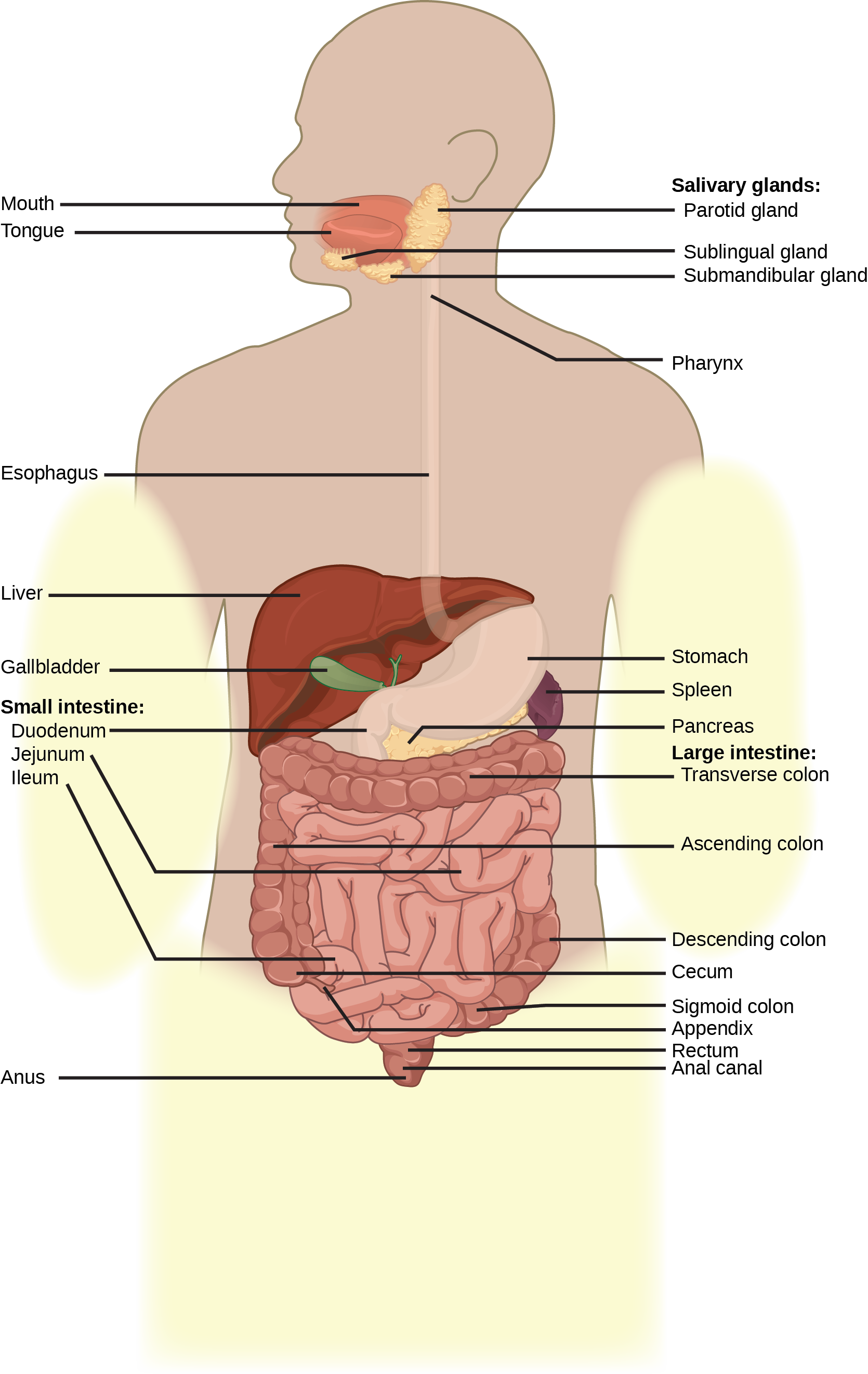 Illustration shows the human lower digestive system, which begins with the stomach, a sac that lies above the large intestine. The stomach empties into the small intestine, which is a long, highly folded tube. The beginning of the small intestine is called the duodenum, the long middle part is called the jejunum, and the end is called the ileum. The ileum empties into the large intestine on the right side of the body. Beneath the junction of the small and large intestine is a small pouch called the cecum. The appendix is at the bottom end of the cecum. The large intestine travels up the left side of the body, across the top of the small intestine, then down the right side of the body. These parts of the large intestine are called the ascending colon, the transverse colon and the descending colon, respectively. The large intestine empties into the rectum, which is connected to the anus. The pancreas is sandwiched between the stomach and large intestine. The liver is a triangular organ that sits above and slightly to the right of the stomach. The gallbladder is a small bulb between the liver and stomach.