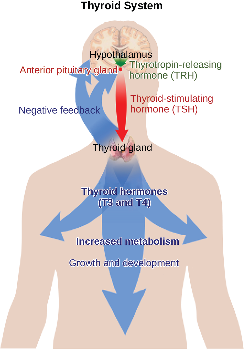 The hypothalamus secretes thyrotropin-releasing hormone, which causes the anterior pituitary gland to secrete thyroid-stimulating hormone, or T S H. Thyroid-stimulating hormone causes the thyroid gland to secrete the thyroid hormones T 3 and T 4, which increase metabolism, resulting in growth and development. In a negative feedback loop, T 3 and T 4 inhibit hormone secretion by the hypothalamus and pituitary, terminating the signal.