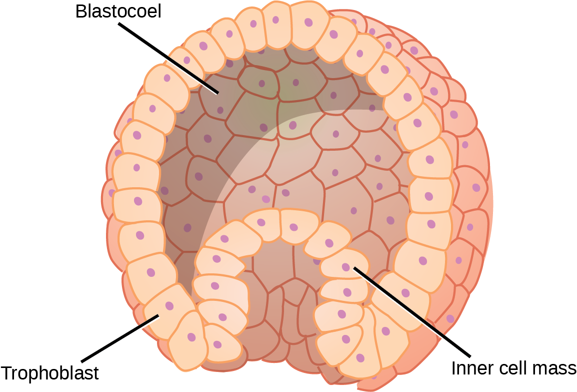 Illustration shows a hollow ball of cells with an inner cell mass clustered to one side. The exterior is called the trophoblast.