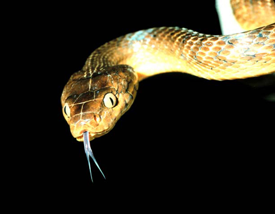 Photo shows a snake mottled brown and tan, with a forked tongue sticking out of its mouth.