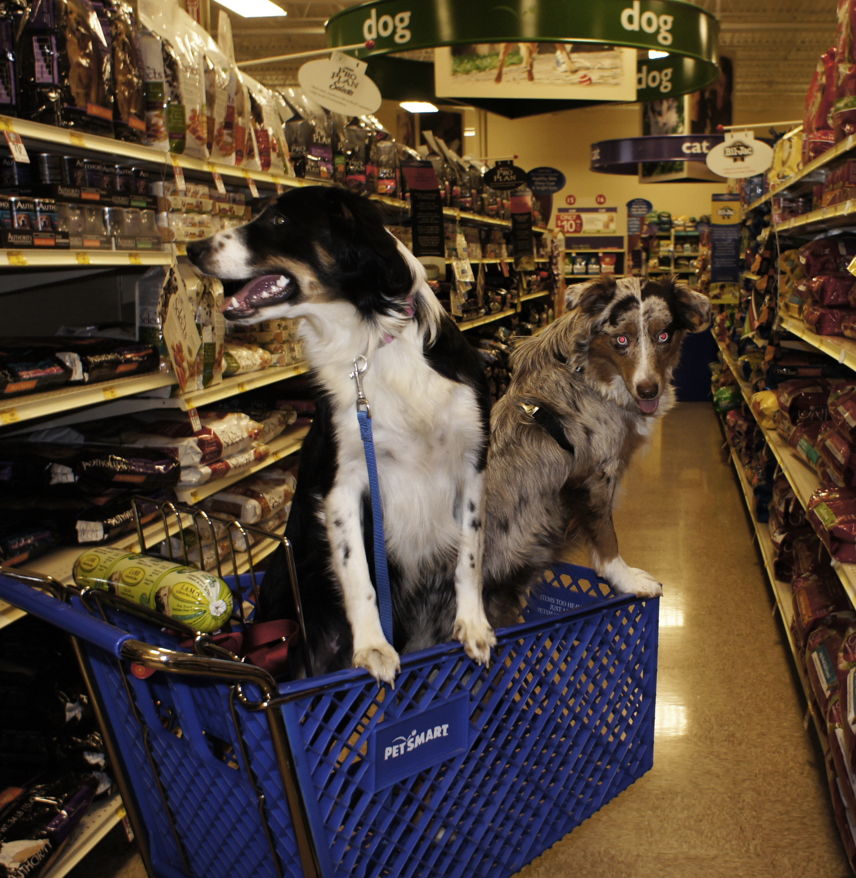 A photograph shows 2 dogs riding in a shopping cart inside of a Pet smart store.