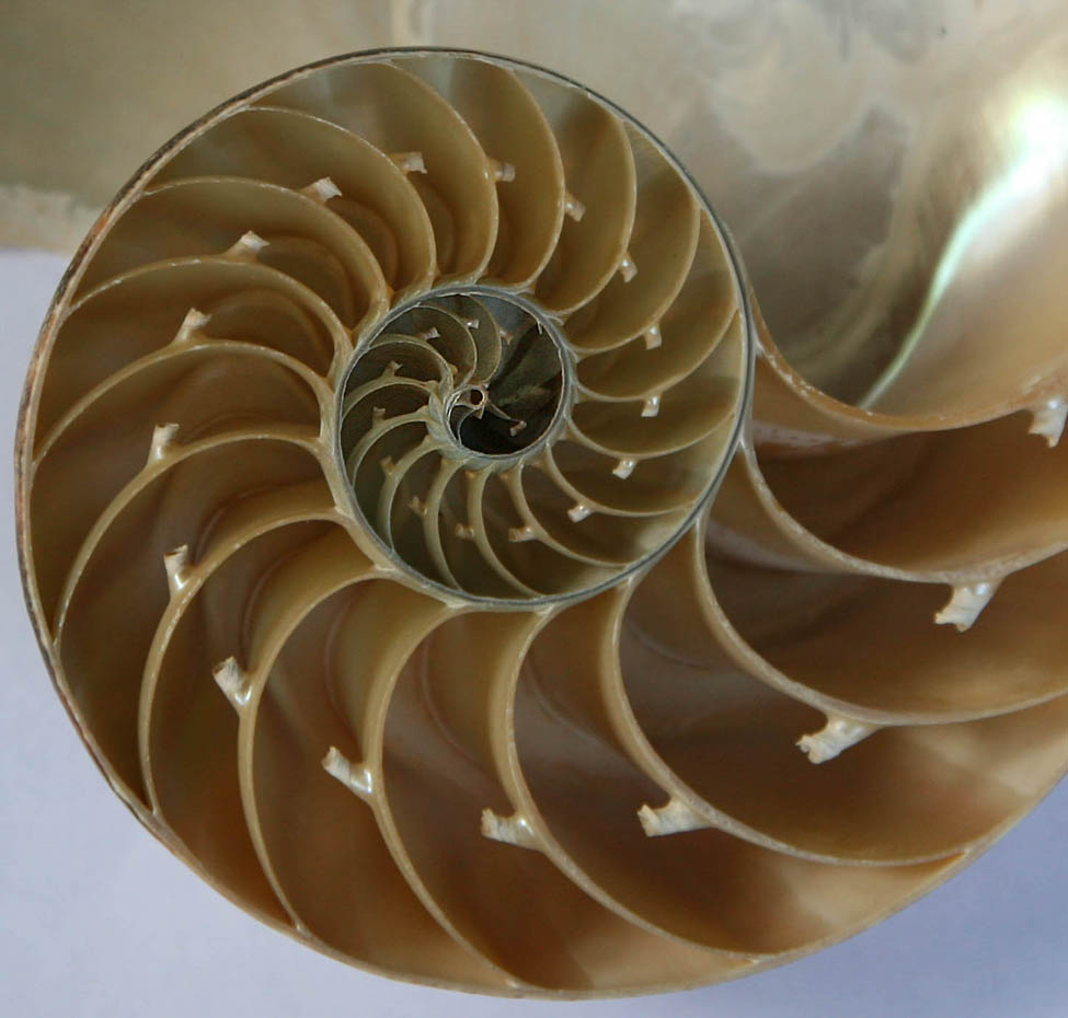 A photo of a cross section of a seashell that spirals from big chambers to smaller and smaller ones.