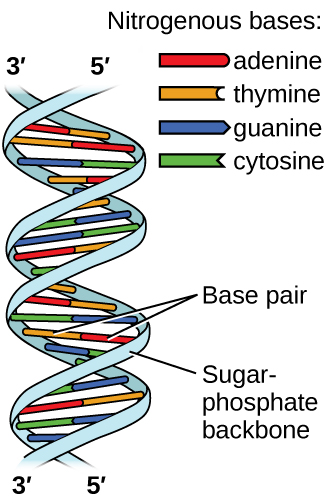 """Two images are shown. The first lies on the left side of the page and shows a helical structure like a twisted ladder where the rungs of the ladder, labeled """"Base pair"""" are red, yellow, green and blue paired bars. The red and yellow bars, which are always paired together, are labeled in the legend, which is titled """"Nitrogenous bases"""" as """"adenine"""" and """"thymine,"""" respectively. The blue and green bars, which are always paired together, are labeled in the legend as """"guanine"""" and """"cytosine,"""" respectively. At the top of the helical structure, the left-hand side rail, or """"Sugar, dash, phosphate backbone,"""" is labeled as """"3, prime"""" while the right is labeled as """"5, prime."""" These labels are reversed at the bottom of the helix. To the right of the page is a large Lewis structure. The top left corner of this structure, labeled """"5, prime,"""" shows a phosphorus atom single bonded to three oxygen atoms, one of which has a superscripted negative charge, and double bonded to a fourth oxygen atom. One of the single bonded oxygen atoms is single bonded to the left corner of a five-membered ring with an oxygen atom at its top point and which is single bonded to an oxygen atom on the bottom left. This oxygen atom is single bonded to a phosphorus atom that is single bonded to two other hydrogen atoms and double bonded to a fourth oxygen atom. The lower left of these oxygen atoms is single bonded to another oxygen atom that is single bonded to a five-membered ring with an oxygen in the upper bonding site. The bottom left of this ring has a hydroxyl group attached to it while the upper right carbon is single bonded to a nitrogen atom that is part of a five-membered ring bonded to a six-membered ring. Both of these rings have points of unsaturation and nitrogen atoms bonded into their structures. On the right side of the six-membered ring are two single bonded amine groups and a double bonded oxygen. Three separate dotted lines extend from these sites to corresponding sites on a second six-me"""