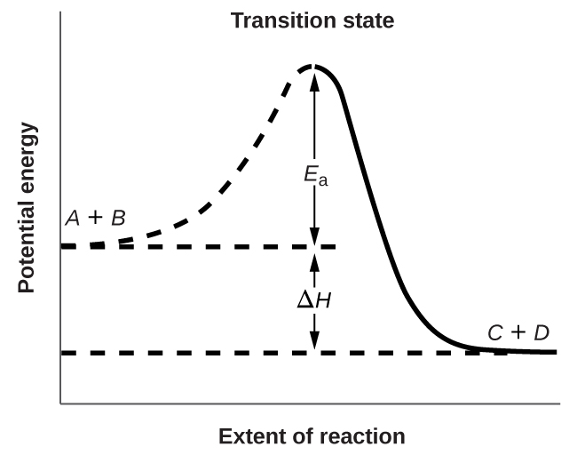 "A graph is shown with the label, ""Extent of reaction,"" bon the x-axis and the label, ""Potential energy,"" on the y-axis. Above the x-axis, a portion of a dashed curve is labeled ""A plus B."" From the right end of this region, the concave down curve continues upward to reach a maximum near the height of the y-axis. The peak of this curve is labeled, ""Transition state."" A double sided arrow extends from a dashed horizontal line that originates at the y-axis at a common endpoint with the curve to the peak of the curve. This arrow is labeled ""E subscript a."" A second horizontal dashed line segment is drawn from the right end of the black curve left to the vertical axis at a level significantly lower than the initial ""A plus B"" labeled end of the curve. The end of the curve that is shared with this segment is labeled, ""C plus D."" The curve, which was initially dashed, continues as a solid curve from the maximum to its endpoint at the right side of the diagram. A second double sided arrow is shown. This arrow extends between the two dashed horizontal lines and is labeled, ""capital delta H."""