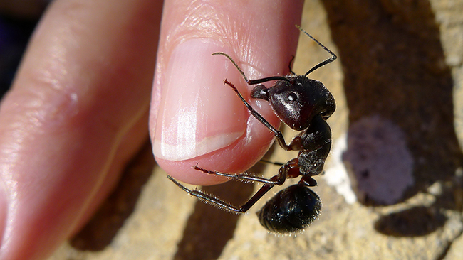 A photograph is shown of a large black ant on the end of a human finger.