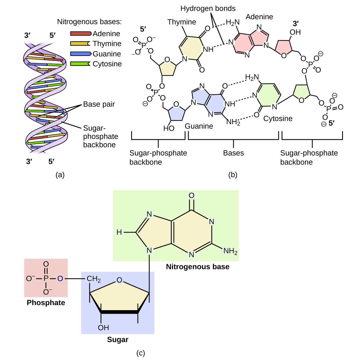 204 amines and amides chemistry diagram a shows dna as a double helix composed of the nitrogenous bases adenine thymine ccuart Gallery
