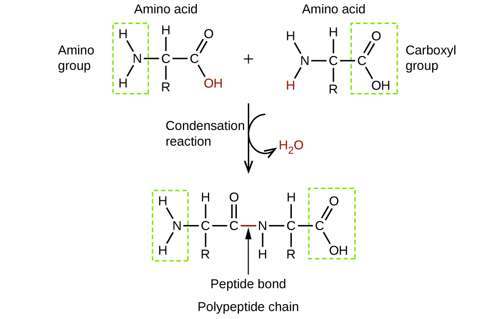 20 4 Amines and Amides – Chemistry