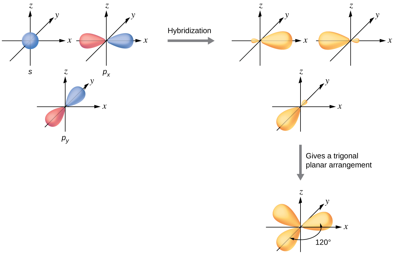 """This shows a series of three diagrams with one on the left connected to one on the right by a right-facing arrow that is labeled, """"Hybridization."""" Below the one on the right is a downward-facing arrow labeled, """"Gives a trigonal planar arrangement,"""" connecting to the last diagram. The first diagram shows a blue spherical orbital labeled """"S"""" and then two red and blue, peanut-shaped orbitals, each placed on an X, Y, Z axis system, labeled """"P subscript x"""" and """"P subscript y."""" The two red and blue orbitals are located on the x and z axes, respectively. The second diagram shows the three orbitals again on an X, Y, Z axis system, but they are yellow and have one enlarged lobe and one smaller lobe. Each lies in a different axis in the drawing. The third diagram shows the same three orbitals, but their smaller lobes now overlap while their larger lobes are located at and labeled as """"120 degrees"""" from one another."""
