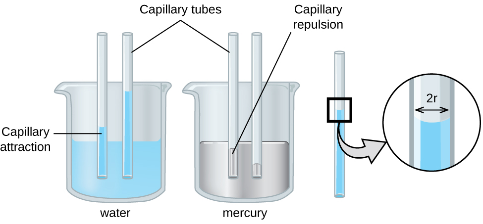 """An image of two beakers and a tube is shown. The first beaker, drawn on the left and labeled """"Water,"""" is drawn half-full of a blue liquid. Two open-ended capillary tubes are placed vertically in the beaker and inserted into the liquid. The liquid is shown higher in the tubes than in the beaker and is labeled """"Capillary attraction."""" The second beaker, drawn in the middle and labeled """"Mercury,"""" is drawn half-full of a gray liquid. Two open-ended capillary tubes are placed vertically in the beaker and inserted into the liquid. The liquid is shown lower in the tubes than in the beaker and is labeled """"Capillary repulsion."""" Lines point to the vertical tubes and label them """"Capillary tubes."""" A separate drawing of one of the vertical tubes from the first beaker is shown on the right. A right-facing arrow leads from the liquid in the tube to a square call-out box that shows a close-up view of the liquid's surface. The distance across the tube is labeled """"2 r"""" in this image."""