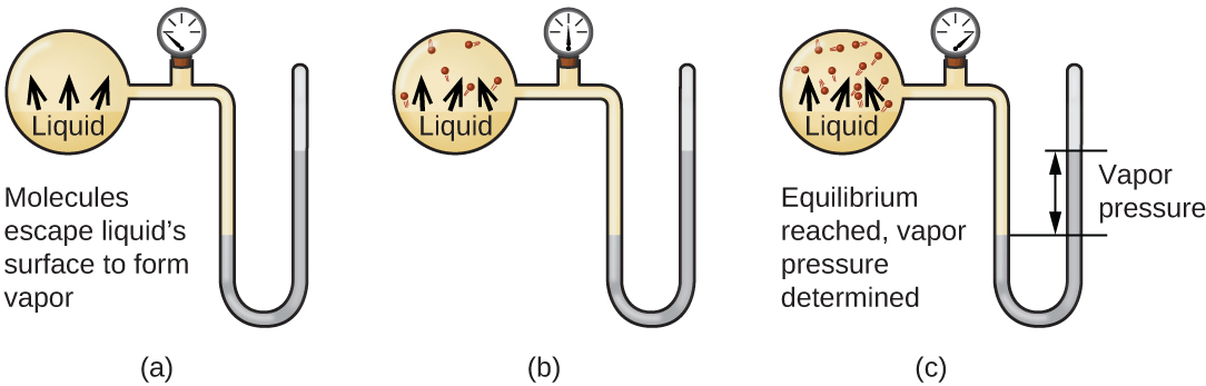 """Three images are shown and labeled """"a,"""" """"b,"""" and """"c."""" Each image shows a round bulb connected on the right to a tube that is horizontal, then is bent vertically, curves, and then is vertical again to make a u-shape. A valve is located in the horizontal portion of the tube. Image a depicts a liquid in the bulb, labeled, """"Liquid,"""" and upward-facing arrows leading away from the surface of the liquid. The phrase, """"Molecules escape surface and form vapor"""" is written below the bulb, and a gray liquid in the u-shaped portion of the tube is shown at equal heights on the right and left sides. Image b depicts a liquid in the bulb, labeled, """"Liquid,"""" and upward-facing arrows leading away from the surface of the liquid to molecules drawn in the upper portion of the bulb. A gray liquid in the u-shaped portion of the tube is shown slightly higher on the right side than on the left side. Image c depicts a liquid in the bulb, labeled, """"Liquid,"""" and upward-facing arrows leading away from the surface of the liquid to molecules drawn in the upper portion of the bulb. There are more molecules present in c than in b. The phrase """"Equilibrium reached, vapor pressure determined,"""" is written below the bulb and a gray liquid in the u-shaped portion of the tube is shown higher on the right side. A horizontal line is drawn level with each of these liquid levels and the distance between the lines is labeled with a double-headed arrow. This section is labeled with the phrase, """"Vapor pressure."""""""