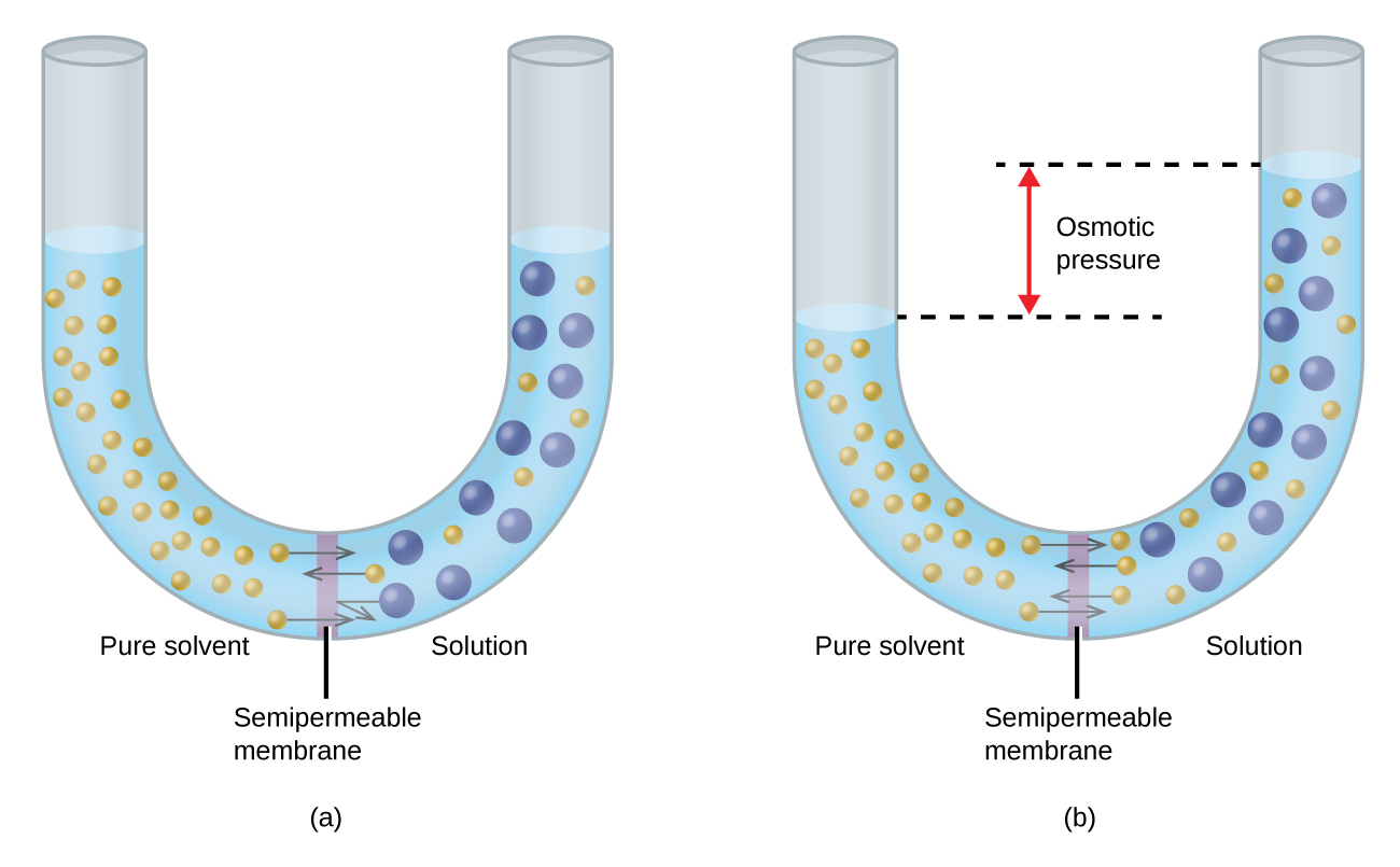 The figure shows two U shaped tubes with a semi permeable membrane placed at the base of the U. In figure a, pure solvent is present and indicated by small yellow spheres to the left of the membrane. To the right, a solution exists with larger blue spheres intermingled with some small yellow spheres. At the membrane, arrows pointing from three small yellow spheres on both sides of the membrane cross over the membrane. An arrow drawn from one of the large blue spheres does not cross the membrane, but rather is reflected back from the surface of the membrane. The levels of liquid in both sides of the U shaped tube are equal. In figure b, arrows again point from small yellow spheres across the semipermeable membrane from both sides. This diagram shows the level of liquid in the left, pure solvent, side to be significantly lower than the liquid level on the right. Dashed lines are drawn from these two liquid levels into the middle of the U-shaped tube and between them is a red, double-headed, vertical arrow next to the term osmotic pressure.