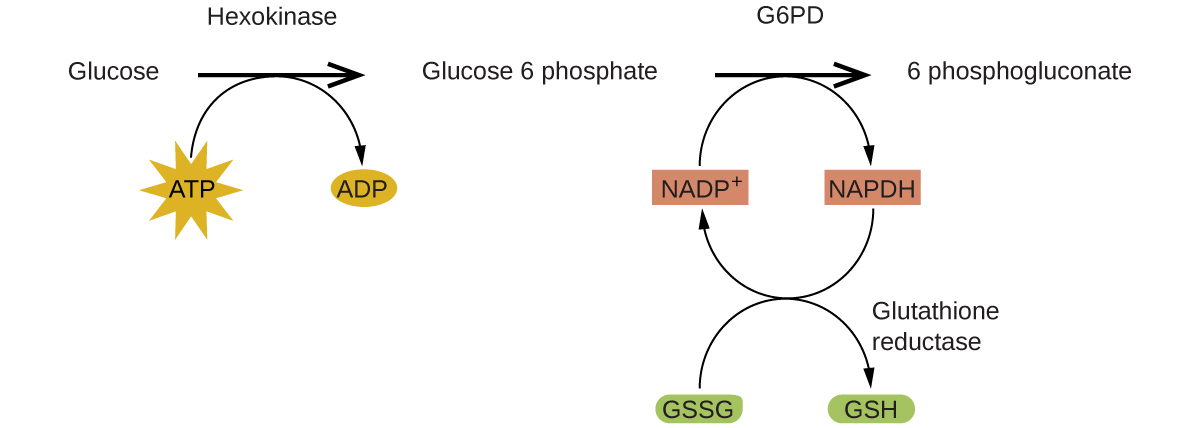 """A reaction mechanism is diagrammed in this figure. At the left, the name Glucose is followed by a horizontal, right pointing arrow, labeled, """"Hexokinase."""" Below this arrow and to the left is a yellow star shape labeled, """"A T P."""" A curved arrow extends from this shape to the right pointing arrow, and down to the right to a small brown oval labeled, """"A D P."""" To the right of the horizontal arrow is the name Glucose 6 phosphate, which is followed by another horizontal, right pointing arrow which is labeled, """"G 6 P D."""" A small orange rectangle below and left of this arrow is labeled """"N A D P superscript plus."""" A curved arrow extends from this shape to the right pointing arrow, and down to the right to a small salmon-colored rectangle labeled """"N A P D H."""" A curved arrow extends from this shape below and to the left, back to the orange rectangle labeled, """"N A D P superscript plus."""" Another curved arrow extends from a green oval labeled """"G S S G"""" below the orange rectangle, up to the arrow curving back to the orange rectangle. This last curved arrow continues on to the lower right to a second green oval labeled, """"G S H."""" The end of this curved arrow is labeled, """"Glutathione reductase."""" To the right of the rightmost horizontal arrow appears the name 6 phosphogluconate."""