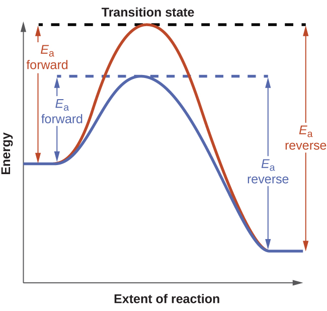 """A graph is shown labeled """"Transition state."""" The y-axis on the graph is labeled """"Energy"""" and the x-axis is labeled """"Extent of Reaction."""" Two curves are plotted on the graph. Both start mid-way up the y-axis. The red curve has a steep initial slope as it increases, then reaches its peak where it meets a horizontal dotted line, then has a steep decline before leveling out. From the initial point to the horizontal line, there is a vertical line with arrows on each end labeled """"E subscript a forward."""" From the end point to the horizontal line, there is a vertical line with arrows on each end labeled """"E subscript a reverse."""" The second curve is less steep than the first and does not reach as high of a peak on the y-axis. It meets a separate horizontal dotted line at its peak, then declines at a similar rate to the first curve before leveling out with the first curve. From the initial point where the slope begins to increase to the horizontal line, there is a vertical line with arrows on each end labeled """"E subscript a forward."""" From the end point right as it levels out to the horizontal line, there is a vertical line with arrows on each end labeled """"E subscript a reverse."""""""